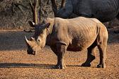 White rhinoceros — Stock Photo