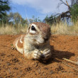 Inquisitive ground squirrel — Stock Photo