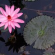 Water lily flower — Stock Photo
