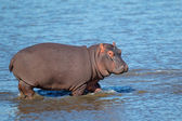 Hippopotamus in water — Stock Photo