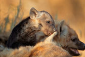 Spotted hyena pup — Stock Photo