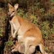 Agile Wallaby and baby — Stockfoto