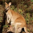 Agile Wallaby and baby — Stock Photo