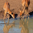 Nyala antelopes drinking — Stock Photo #11934445