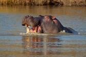 Aggressive hippopotamus — Stock Photo