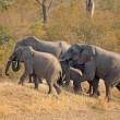 African elephants — Stock Photo #12255381