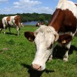 Grazing Cows — Stock Photo #11335096