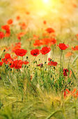 Sunny poppies — Stock Photo