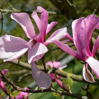 Magnolia — Stock Photo #10787675