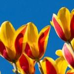 Tulpen — Stockfoto #10787681