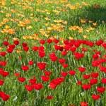 Tulpen — Stockfoto #10787708