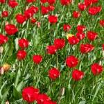 Tulpen — Stockfoto #10787754