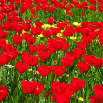 Tulpen — Stockfoto #10787779