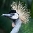 Grey Crowned Cranes — Stock Photo