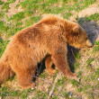 Young brown bear — Stock Photo