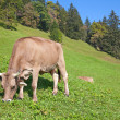 Stock Photo: Swiss cow