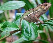 Zelený chameleon — Stock fotografie