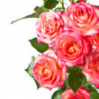 Beautiful roses. — Stock Photo