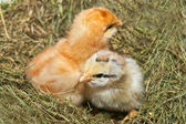 Two chicken. — Stock Photo