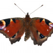Young isolated emperor moth — Stock Photo