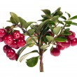 Stock Photo: Bright red isolated cowberry branch