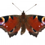 Dark red isolated emperor moth — Stock Photo
