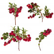 Stock Photo: Branch of red cowberries collection isolated on white
