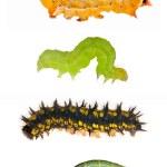 Set of four caterpillars on white — Stock Photo #12356224