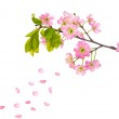Pink cherry flowers and falling petals — Stock Photo #12356376