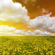 Yellow dandelion field at orange sunset — Stock Photo #12356384