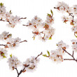 Six cherry-tree branches with lot of flowers — Stock Photo