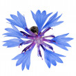 Single blue chicory flower isolated on white — Stock Photo #12356484