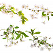 Four isolated cherry floral branches - Stock Photo
