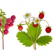 Forest berries collection isolated on white — Stock Photo