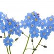 Light blue forget-me-nots — Stock Photo