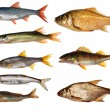 Eight isolated freshwater fishes collection — Stock Photo