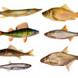 Seven isolated freshwater fishes collection — Stock Photo