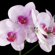 Light pink orchid flowes isolated on black — Stock Photo