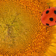 Yellow sunflower center with ladybird — Stock fotografie