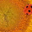 Yellow sunflower center with ladybird — Stockfoto