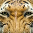 Orange tiger close-up — Stockfoto