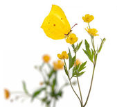 Yellow butterfly and buttercup flowers on white — Stock Photo