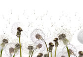 Field with white dandelions — Stock Photo