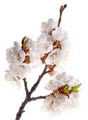Light sakura branch on white — Stock Photo