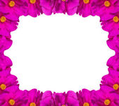 Pink brier flower frame isolated on white — Stock Photo