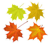 Four maple leaves collection on white — Stock Photo