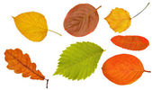 Seven leaves collection on white — Stock Photo