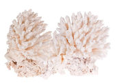 Large light coral isolated on white — Stock Photo