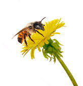 Bee on isolated yellow dandelion — Stock Photo