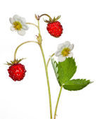 Two wild strawberries and flowers — Stock Photo